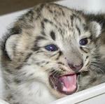 bebé leopardo de las nieves